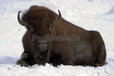 lying bison in snow