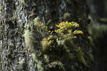 tree plait lichens kuestennebelwald