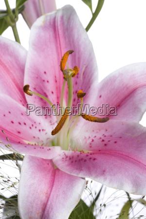 detail einer lilie