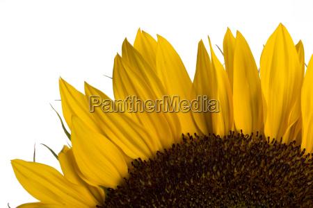 detail einer sonnenblume