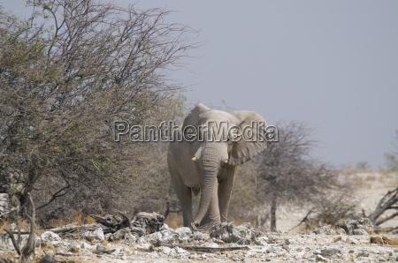 elephant dornbuschsavanne etoschanp okaukuejo