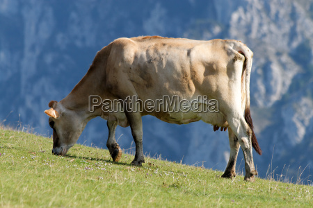 cow on mountain meadow