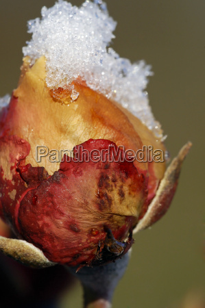 macro, close-up, macro admission, close up view, winter, flower - 1649085