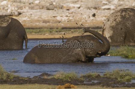 africa namibia bathing jungelefant rietfontein etosha