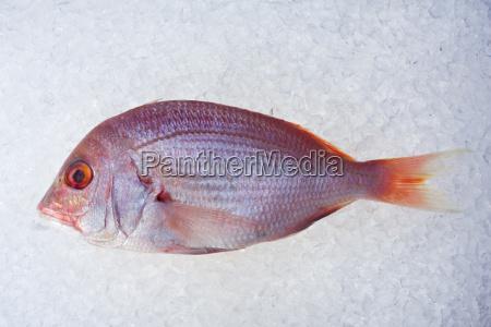 dorade crushed seefisch