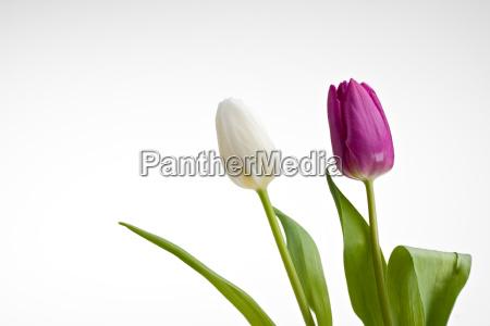 weisse und violette tulpen