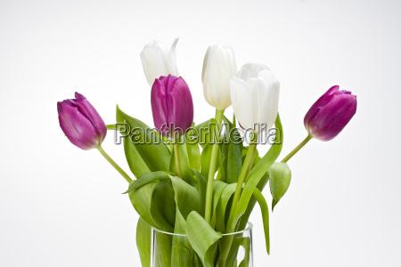 weisse und violette tulpen in einer