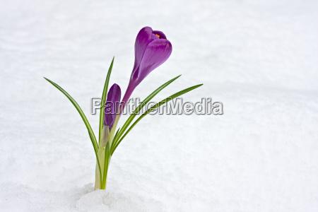 lila krokus durchbricht den schnee