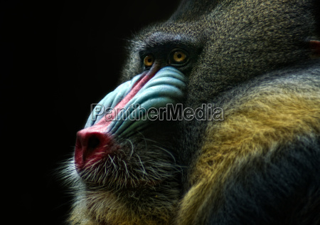 baboon why so thoughtful