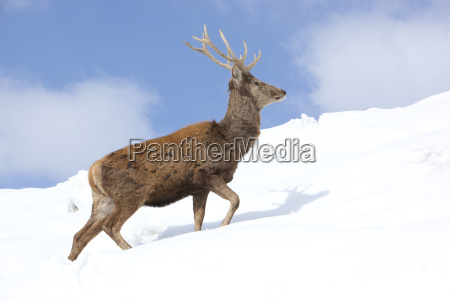 animals nature hart stag umelt wildnis