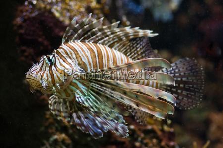 lionfish dragon fish or fire fish