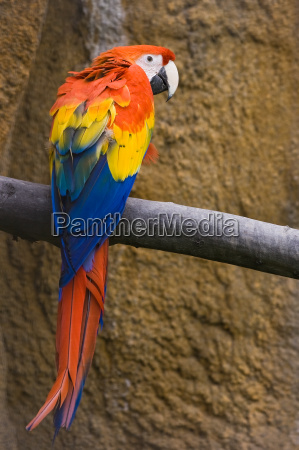 red yellow and blue parrot