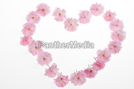 herz aus rosa kirschblueten auf weissem
