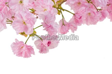 rosa kirschblueten auf weissem hintergrund