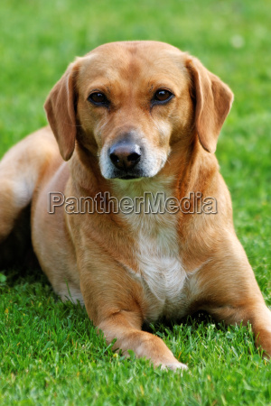 portrait of a lying dog on