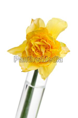 einzelne gelbe narzissen in einer vase