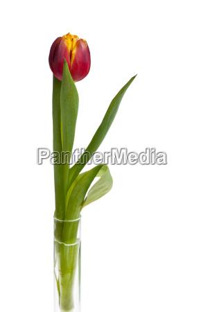 einzigen gelb rote tulpe in glasvase