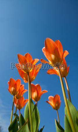 orange tulpen und blauer himmel