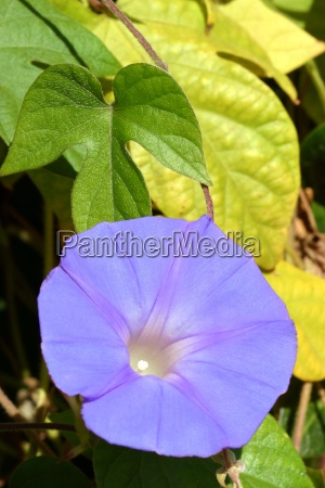 purple morning glory