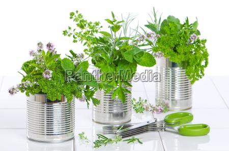 ervas frescas em latas recicladas
