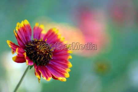 california blanket flower