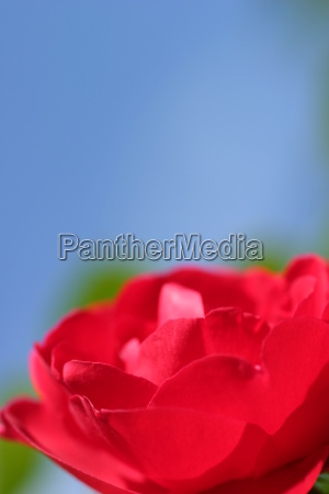 red rose blue sky