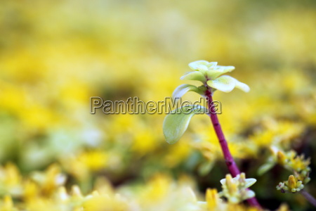 yellow sedum