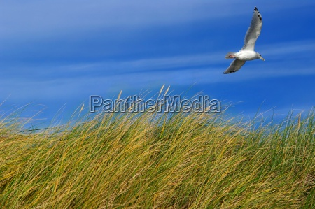 north sea dune grass with seagull