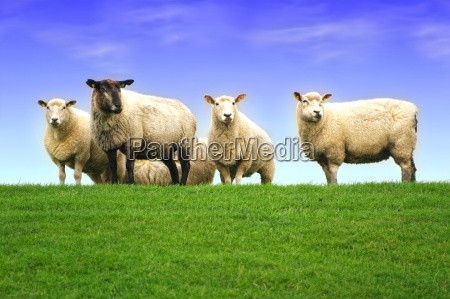 sheep on the dike of the