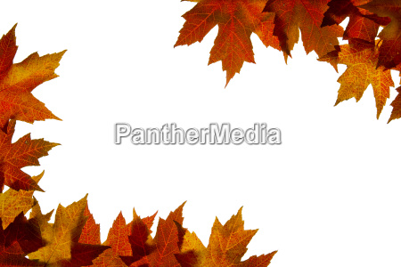 maple leaves mixed fall colors backlit