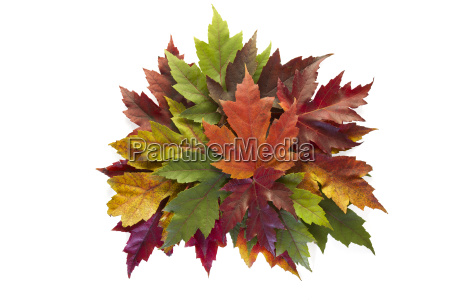 maple leaves mixed fall colors autumn