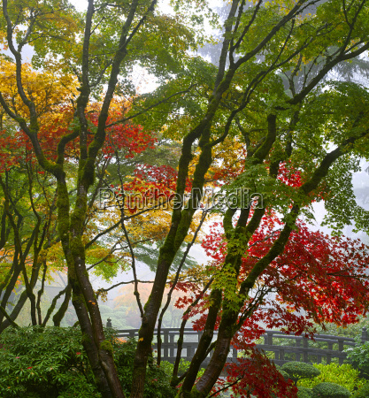 canopy of japanese maple trees in