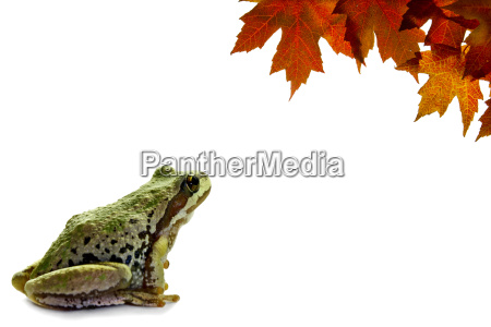pacific tree frog sitting with fall