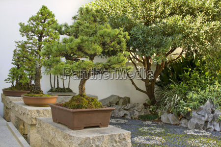 bonsai trees in chinese garden