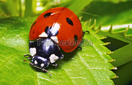 macro portrait of the ladybug