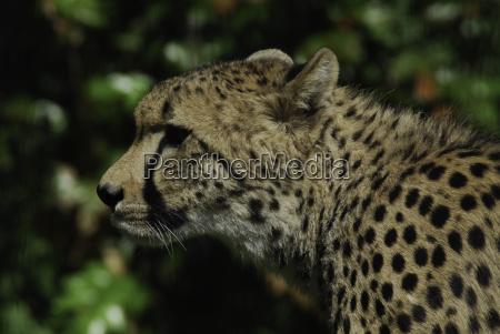 africa cat big cat feline predator
