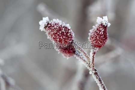 winter, ice, frost, haw, season, pink - 3925273