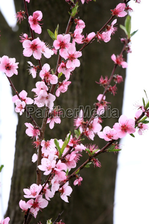 beautiful peach blooms in spring before