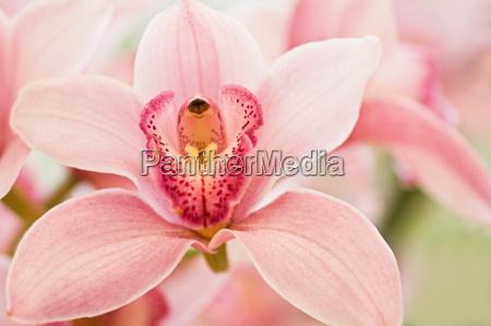 boat orchid or cymbidium