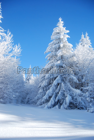 pines, covered, snow, - 5017625