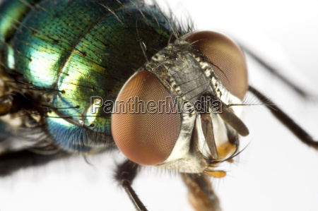 house fly in extreme close up