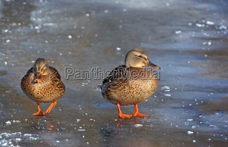 wildenten auf gefrorenem see