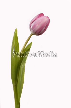tulpe1