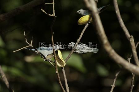 blue bird animals birds bischofstangare costa