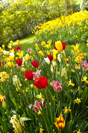 tulips and daffodils in lots of