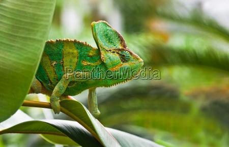 green jemenchameleon or chamaelio calyptratus
