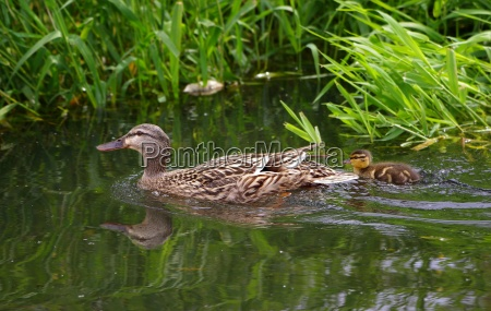 offspring care duck chick fresh water