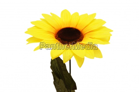 flower of sunflower isolated on the