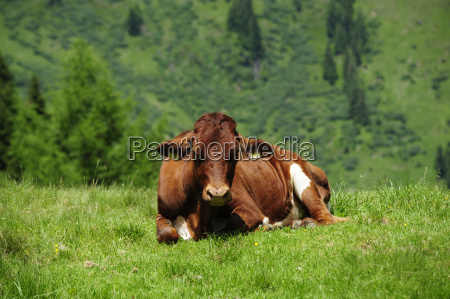 alp cow bovine willow almwirtschaft kuhe