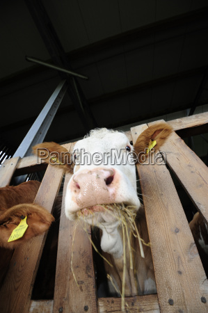 fodder cow bovine cattle breeding feeding